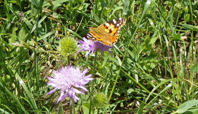 Am Schmetterlingsweg von St. Sigmund, Foto: AT, © Peer